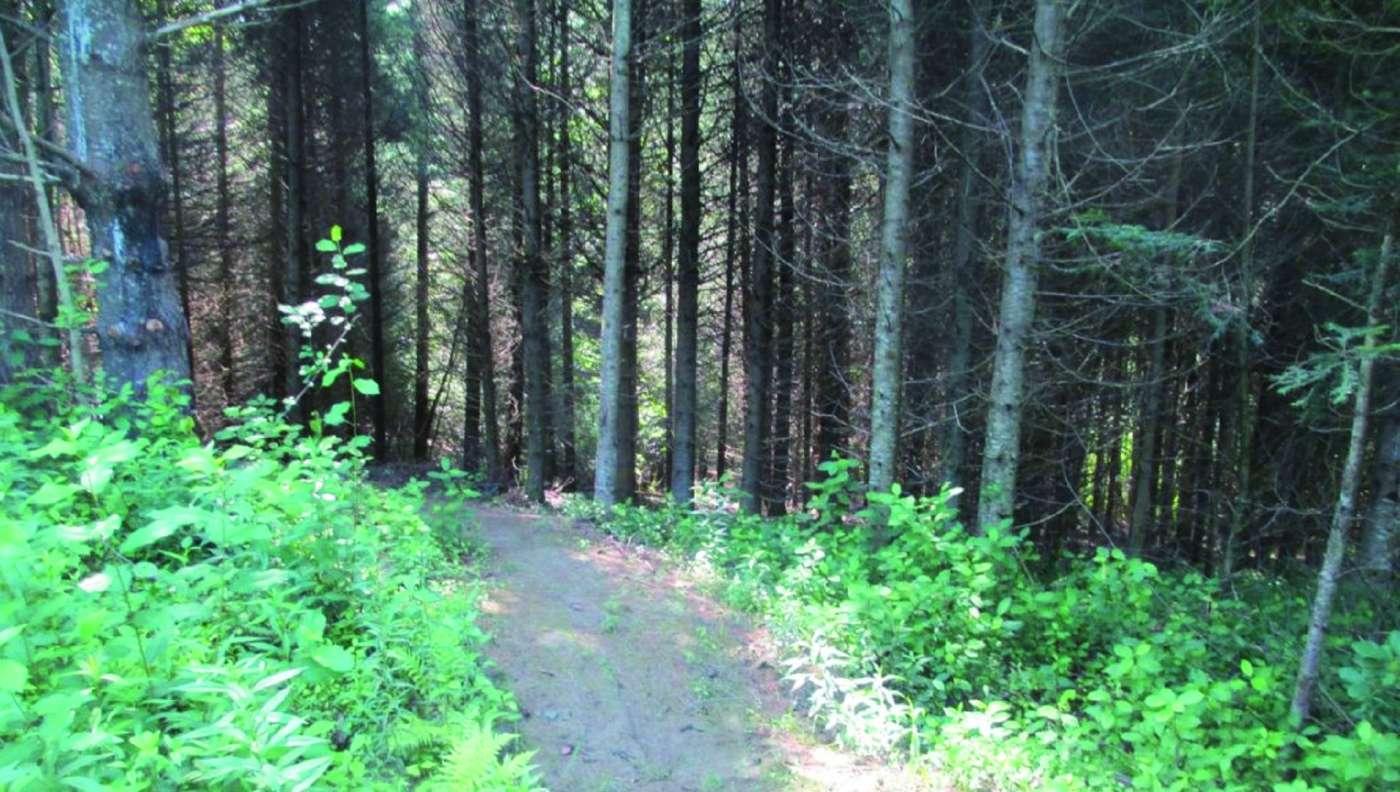 Sentier dans la forêt boisée en été. Verdure sur le sol. Troncs de cônifères.